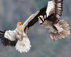Monitor and guard Egyptian Vulture nests to help save the species